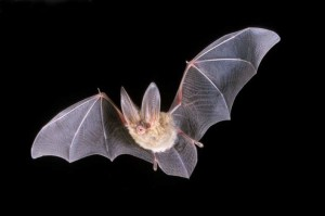 long-eared-bat-flying