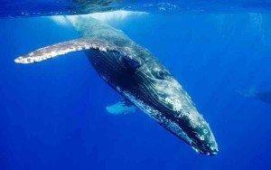 الحيتان تتواصل عبر المسافات الطويلة